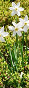 Narcise_Narcissus_radiiflorus_mic