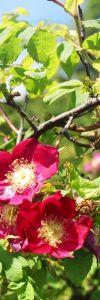 Trandafir_de_munte_Rosa_pendulina