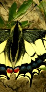 Fluture_coada_de_randunica